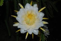 Dragon Fruit flower blooms at night. It is a very pretty and smells nice too. The flower is quite huge, almost 2 or 3 times my hand.