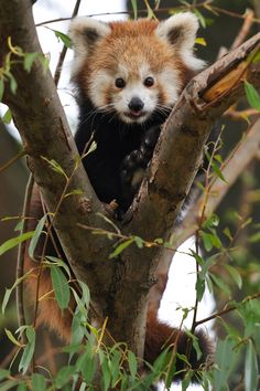 Photograph Baby Tree Panda by Josef Gelernter on 500px