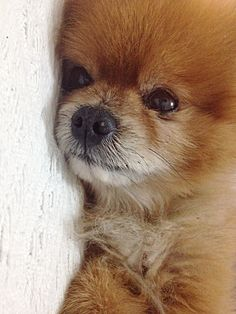 Oh this looks just like my pom, Cinnamon... I miss you every day... rest in peace my sweet little Angel. (Earned her wings August 4, 2008)