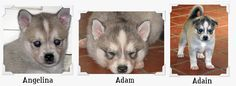 i will have a toy Alaskan Klee Kai please!