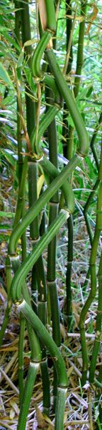 Bamboo catalogue of unique, rare, cold hardy bamboo plants from Canada's Bamboo World a bamboo farm and nursery offering imported, exotic bamboo plants that can make your yard look like it's in the tropics. Bamboo Species, North Garden, Yellow Bamboo, Restaurant Concept, Restaurant Ideas, Bamboo Plants, Unusual Plants, Island Beach, Hedges
