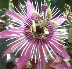 Passiflora, pasionaria roja