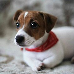 Jack Russell Terrier - A Dog in One Pack - Champion Dogs Jack Russell Puppies, Jack Russell Terrier, Terrier Puppies, Bull Terrier Dog, Rat Terriers, Cute Puppies, Cute Dogs, Animals And Pets, Cute Animals