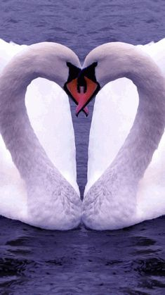 Fake - This is not real... - This is just a mirrored image of one Swan. If you run a straight line down the center you can see the perfect symmetry including the water.