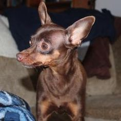 Mikey is an adoptable Chihuahua Dog in Swartz Creek, MI. Mikey- GRAND BLANC PetSmart- Grand Blanc-Mikey is5 yrs old. He is very sweet and loves to be held. He does think he is a much bigger dog ... Swartz Creek, Paws Rescue, Chihuahua Dogs, Big Dogs, Pets, Sweet, Animals, Candy, Animales