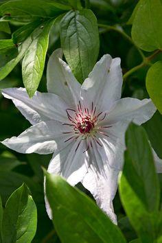 Af Jytte Boch. Clematis 'Miss Bateman' blomstrer i maj-juni og august-september. Bliver 3-4 m. Tilhører gruppe 2.