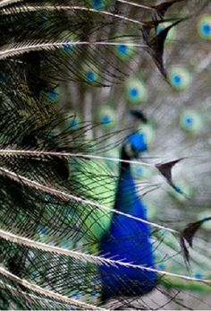 Fine feathered friends: #Peacock #Bokeh