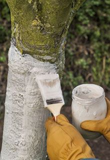 Painting the fruit trees' trunks is an old technic which fights off a lot diseases and plant bugs while respecting the environment. Gardening Zones, Texas Gardening, Organic Gardening, Urban Gardening, Fall Pumpkin Crafts, Fall Pumpkins, Plant Bugs, Garden Online, Garden Shower
