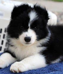 black/white border collie puppy