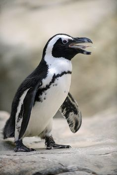 African penguin's catch of the day. Yummy fish!