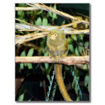Pygmy_Marmoset,_ Postcard