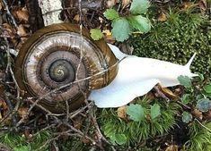 Albino Snail ~ The unexpected find of this giant albino snail in New Zealand was a surprise even to researchers, who say that only once before has a bright white snail been seen.    Snail experts estimate this snail to be about ten years old -- an impressive feat considering how difficult it would be for the gastropod to camouflage itself from predators.