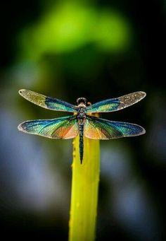 Reimbow dragonfly