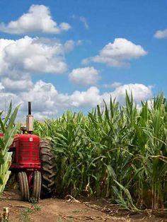 In an Iowa cornfield.