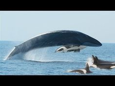 Video: Killer whales pursuing a fin whale. The orcas apparently got the whale in the end, but such hunts are not worth the effort because dead fin whales sink too fast.