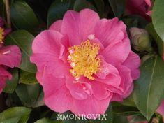 Kumasaka Camellia - Monrovia - Kumasaka Camellia.  Shade plant.  Evergreen.  Zone 8-10. 6-8 feet tall and wide.  Regular watering.