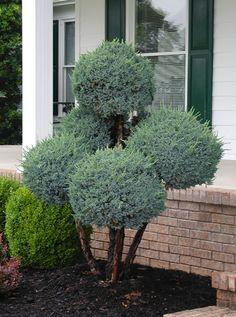 Blue Atlas Cedar 'Boulevard' (topiary)