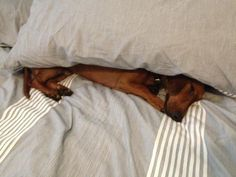 If a doxie can't find a human to wrap them up and tuck them in, then they tuck themselves in (but they prefer getting tucked in) - spoilt!