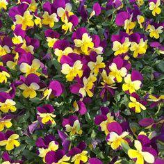 Mi sto allegramente prendendo dei giorni di riposo per si intanto vi mostro cose belle che sto vedendo in giro!  Estoy tranquilamente tomando un poco de tiempo de descanso porque si en lo tanto voy a poner fotos bonitas de cosas bonitas que veo dando vueltas! #mood #descanso #riposo #break #flowers #flores #fiori #barcelona #bcn #wolk #camminando #decamino #park #parco #parque #yellow #amarillo #giallo #purple #viola #morado