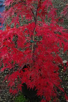 "3 Video tutorials on ""The Art of Pruning Japanese Maples."""