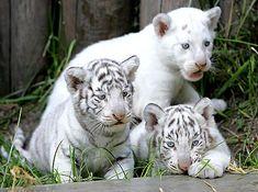 アルゼンチンの動物園で3つ子のホワイトタイガー初公開 - たそがれ別荘