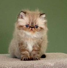 Pretty Fluffy Kitten.