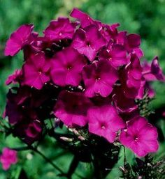 Phlox paniculata 'Nicky' Butterfly plant and deer resistant.