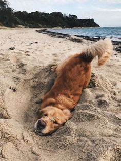 Golden Retriever Puppies – 5 Things To Search For When Purchasing A Puppy Cute Funny Animals, Cute Baby Animals, Animals And Pets, Funny Dogs, Cute Dogs And Puppies, I Love Dogs, Doggies, Photo Animaliere, Cute Creatures