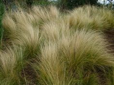 Densely Tufted Evergreen Ornamental Grass With Plumes White Flowers During Summer. Grow In Any Well Drained Soil In Full Sun High X Perennial Grasses, Ornamental Grasses, Perennials, Gaia, Cottage Nursery, Mexican Feather Grass, Cottage In The Woods, Wood Cottage, White Plants