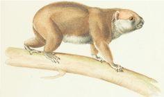Coala da Ásia (Phascolarctus cinereus), atualmente considerado extinto, retratado no Atlas de 1844 de Paul Gervais.  Veja mais em: http://semioticas1.blogspot.com.br/2014/03/zoologia-segundo-gervais.html
