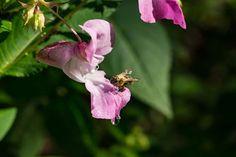 'Eine kleine Biene besucht eine große Blüte' von Ronald Nickel bei artflakes.com als Poster oder Kunstdruck $6.48