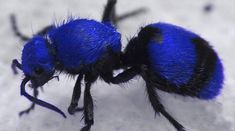 Blue Velvet Ant : at first look I suspected Photoshop but upon looking it up I find this color is a rare variant which occurs in dry desert regions at times...thingofinterest