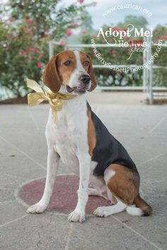 Gypsy  is a 3 year old spayed female hound mix that weighs about 40 pounds.  She is currently in foster care learning the ins and outs to being an  inside dog. She is fully crate trained and on her way to being house  trained. She loves going on...