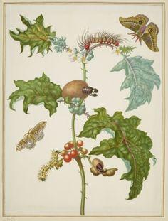 Coconilla with Silk Moth and Molippa nibasa moth