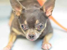 TO BE DESTROYED 06/15/17 *** SICK ***  PUP-PUPS. A1115222.  I am a neutered male black and tan chihuahua sh mix. The shelter thinks I am about 8 YEARS old.    OWNER SUR reason PET HEALTH.