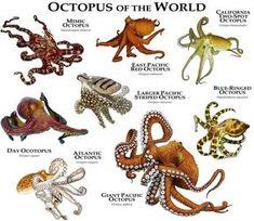 Octopus the World Poster Print - Art representation of various octopus (Octopoda) species identified: ATLANTIC OCTOPUS (Octopus vulg - Mimic Octopus, Red Octopus, Octopus Art, Types Of Octopus, Octopus Colors, Baby Octopus, Octopus Tattoos, Octopus Vulgaris, Animals Of The World