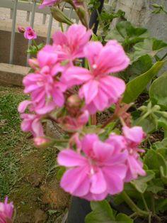 flor de malva