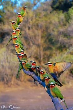 Bee line of Bee-eaters Photo by Mike Dexter