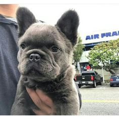 Long Haired Blue French Bulldog Puppy (long hair caused by a recessive Corgi Gene). Long Haired Blue French Bulldog Puppy (long hair caused by a… Long Haired French Bulldog, French Bulldog Full Grown, Blue French Bulldog Puppies, French Bulldog Facts, Cute French Bulldog, French Bulldogs, French Bulldog Wallpaper, French Bulldog Personality, Boxers