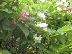 6月14日の誕生日の木は「ハコネウツギ」。名前に「ハコネ」とありますが、箱根に特別自生しているわけではありません。花の色は、はじめは白、それが薄いピンクを経て紅色へと変化します。生育地は北海道南部から九州の海岸近くに自生します。写真は「Present Tree from 熱海の森」入口付近でのものです。なぜ箱根なのかは不明ですが、箱根には見た目がそっくりなニシキウツギ(二色空木)が多く見られます。このふたつ、いくつかの相違点があるのですが、よく見ないと見分けがつきません。誤認で命名されたものと思われます。「Present Tree from熱海の森」が、かつて薪炭やホダギの採取地として、近隣の人びとの生活と密着につながっていた頃には、里山での作業の行き帰りにこのハコネウツギや先月ご紹介しましたエゴノキなどの花を愛でる姿もあったのでしょうね。