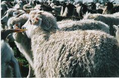 ACGA Goats, Cashmere, Animals, Cashmere Wool, Animales, Animaux, Animal, Paisley, Animais