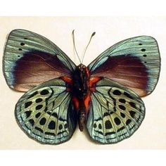 I would LOVE to have a specimen box with 2-3 butterflies or moths to display. I just adore them.