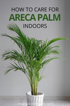 Areca Palm care guide, covering all aspects of care for this wonderful indoor palm houseplant. Learn to keep your Areca Palm thriving indoors by giving it the perfect growing conditions. Areca Palm Care, Palm Plant Care, Palm Tree Care, Areca Palm Plant, House Plant Care, House Plants, Indoor Palm Trees, Indoor Palms, Plants Indoor
