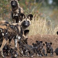 It's Friday and the weekend is almost here so family time www.zoovue.com #conservation #protection #wildlife #zoo #wilddog