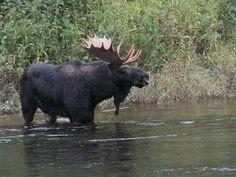 Moose Moose Moose