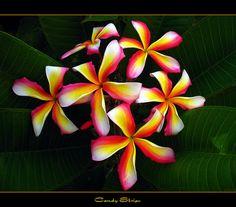 The Plumeria Candy Stripe by mad plumerian, via Flickr