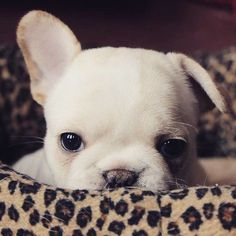 """Peekaboo"", French Bulldog Puppy"