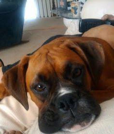 My Missy poo bear! Love my Boxer. # boxer # dogs # love