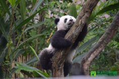 Yuan Zai climbed trees outside.