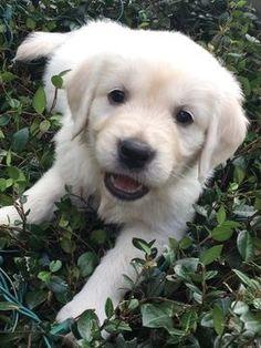 Golden Retriever puppy for sale in LAKELAND, FL. ADN-58344 on PuppyFinder.com Gender: Female. Age: 6 Weeks Old